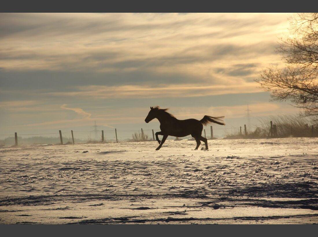 CAV CEWE Fotowettbewerb 2013 Leserfotos Andrea Zielke - Lesertext: Bild 1 zeigt unsere Wallachherde früh morgens als sie auf die zugeschneite Wiese durften. Die meisten der Jungs hatten sich schon beruhigt, nur mein Arabermix tobte immer noch weiter und s
