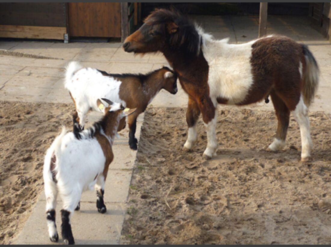 CAV CEWE Fotowettbewerb 2013 Leserfotos Anke Werner - Lesertext: Das eine Bild zeigt mein kleines Shetty Minko mit dem riesen Eimer. Da war er gerade 4 Monate alt.  Das zweite Bild zeigt das gleiche Pony ein Jahr später mit seinen auch gescheckten Ziegenf