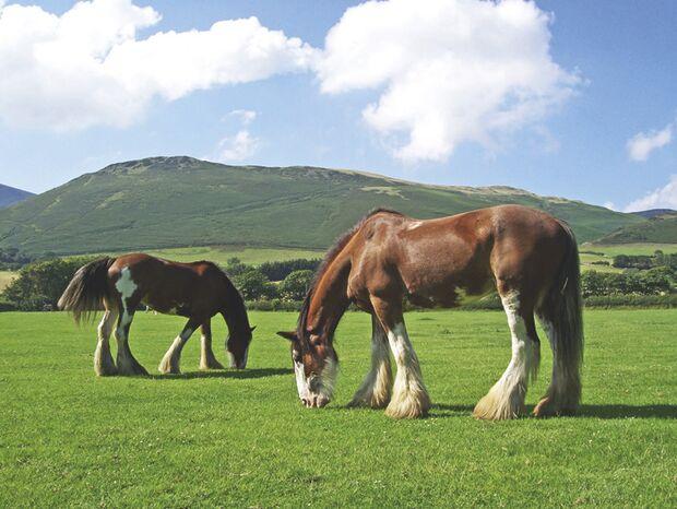 CAV Clydesdale_14 Cumbrian Heavy Horses