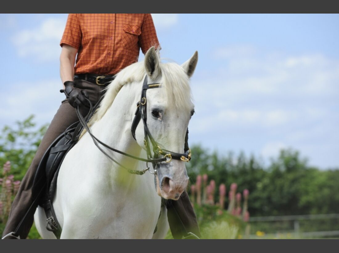 CAV Dressur Schimmel Trense Pferd