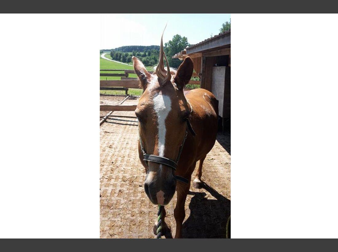 CAV Fan-Pferde Edle die 4. Elisabeth Öchslein