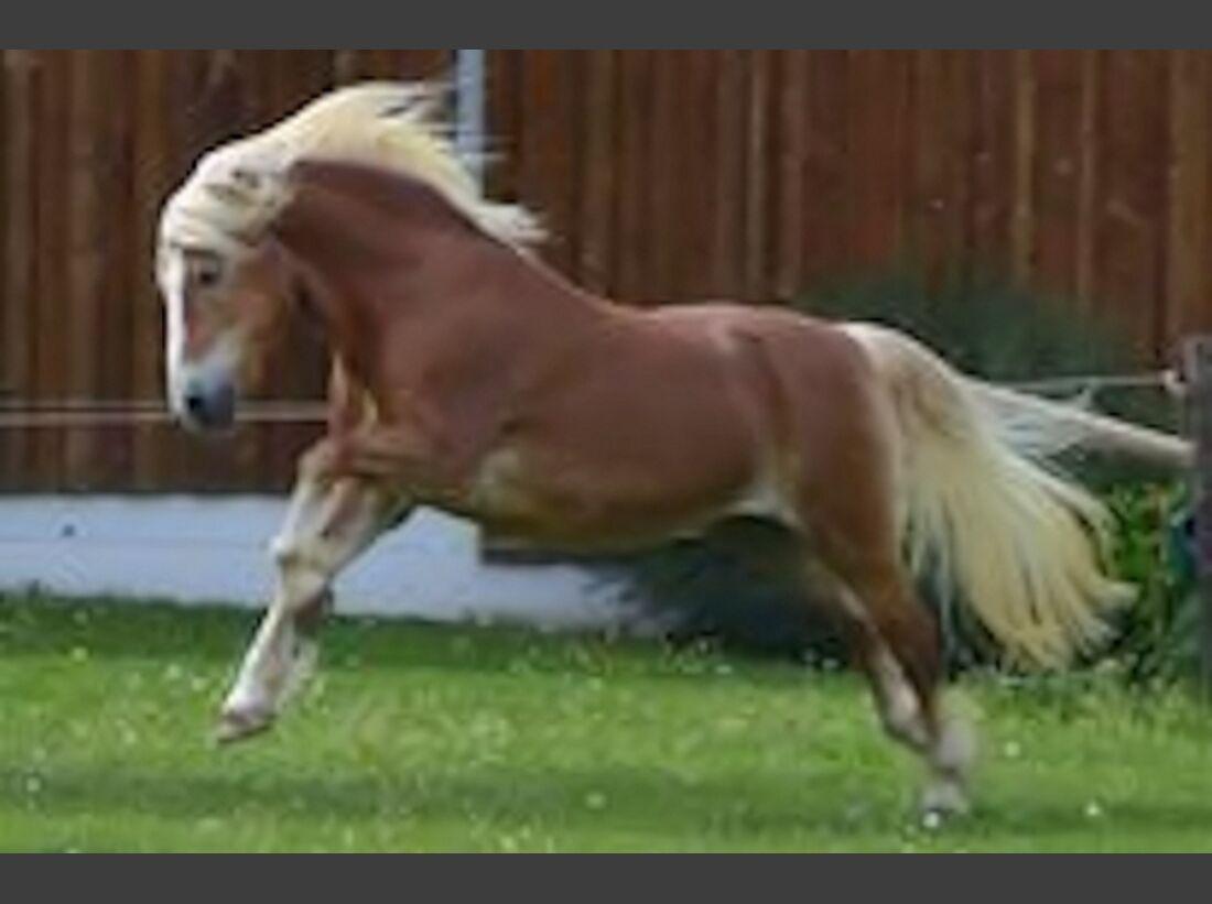 CAV Haflinger Pferderasse Rasse Leserfotos 60