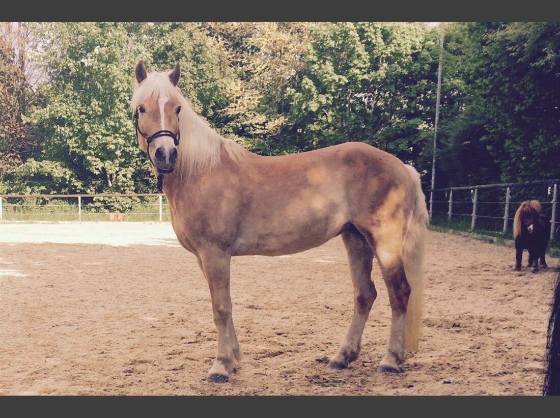 CAV Haflinger Pferderasse Rasse Leserfotos Nadine Riederer