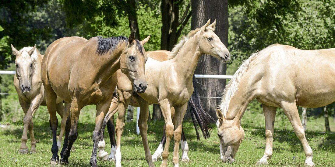 CAV Kinsky-Pferd Pferde auf der Weide