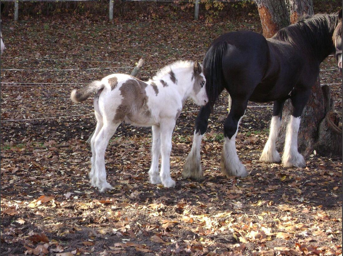 CAV_MS Clydesdales_Axel 2 weeks old 2 (jpg)