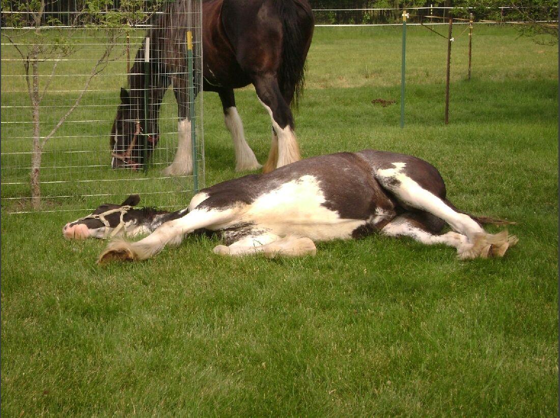 CAV_MS Clydesdales_Sleeping Beauty (jpg)