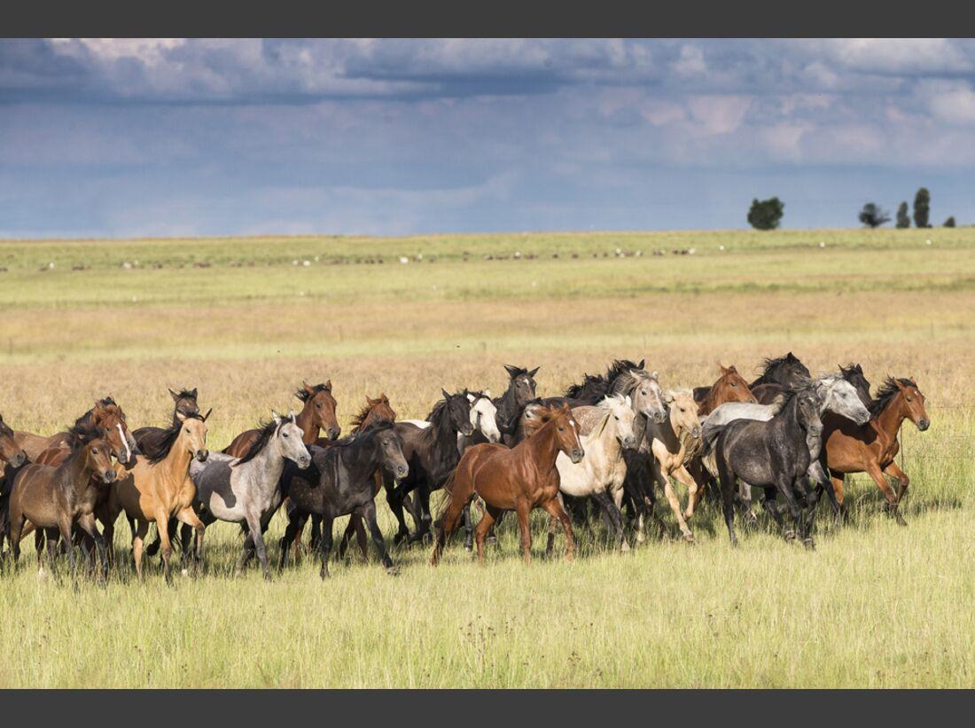 CAV Nooitgedachter Rasse Pferderasse 3