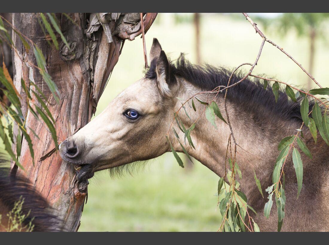 CAV Nooitgedachter Rasse Pferderasse 4