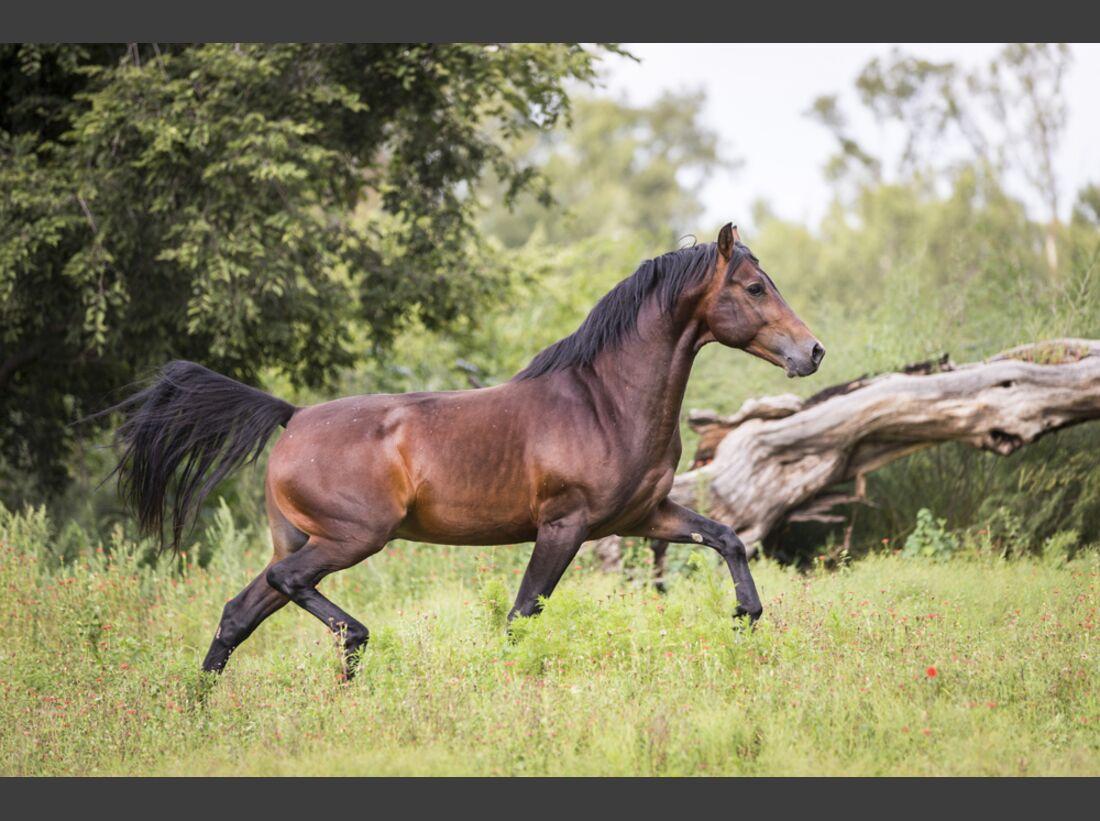 CAV Nooitgedachter Rasse Pferderasse 6