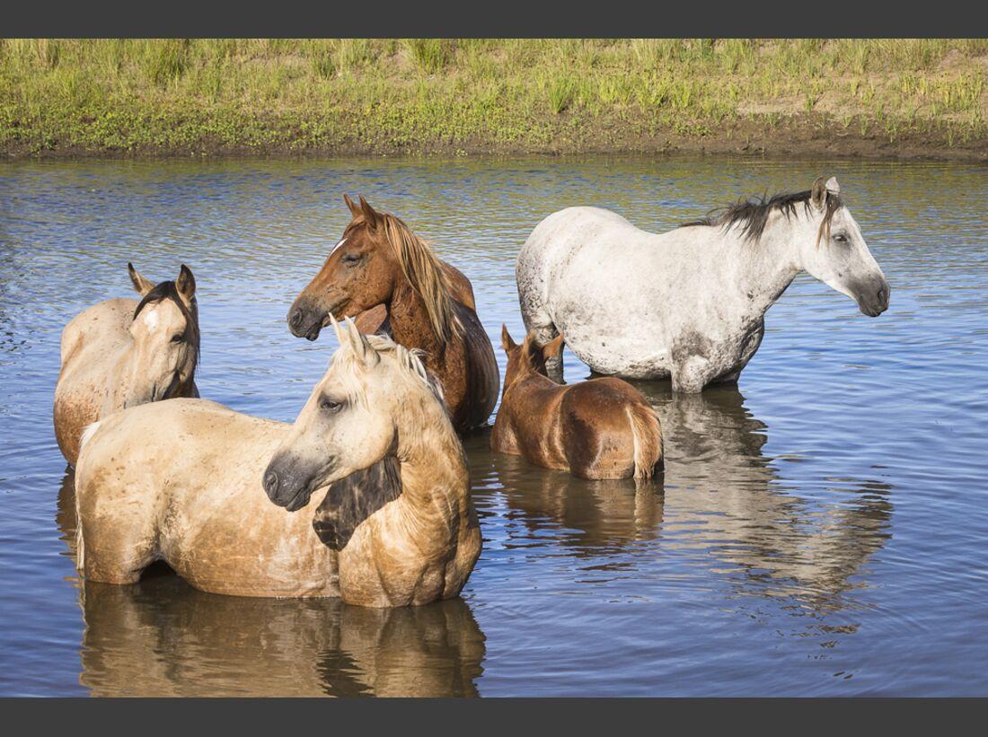 CAV Nooitgedachter Rasse Pferderasse 8