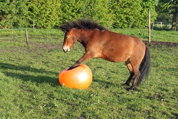 CAV Pferd spielt Ball Tasmate 6