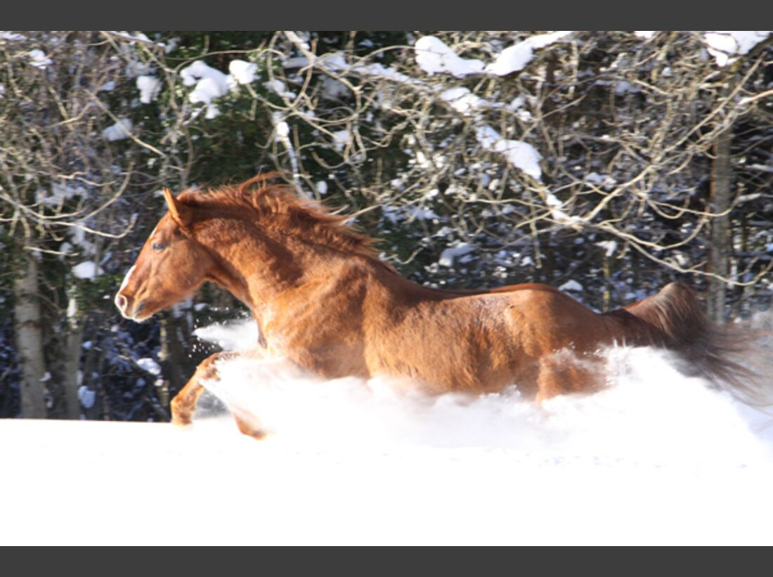 CAV Pferde im Schnee Winter - Toughandtop Gamin