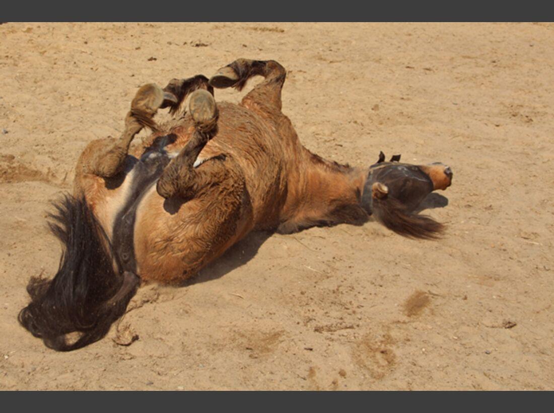 CAV Pferde wälzen 19