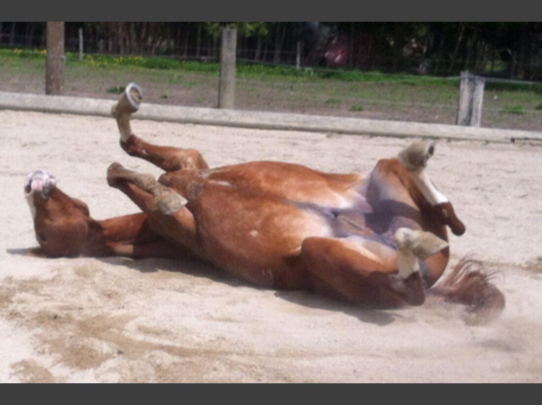 CAV Pferde wälzen 20