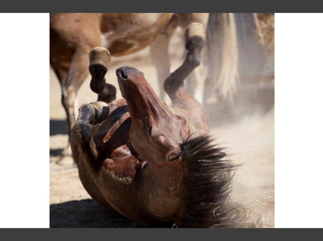 CAV Pferde wälzen 4
