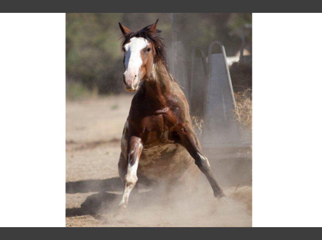 CAV Pferde wälzen 5