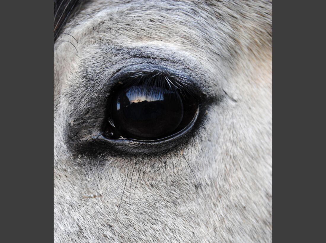 CAV Pferdeaugen Augen Ägyptischer Vollblutaraber MS _21a