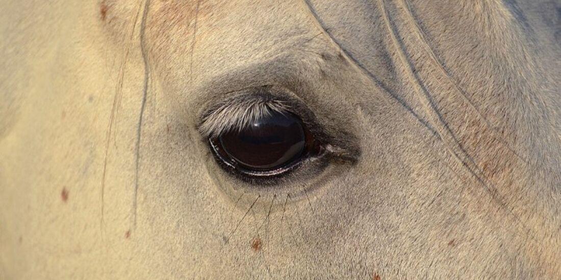 CAV Pferdeaugen Augen Araber MS _12