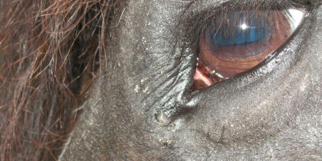 CAV Pferdeaugen Augen Barockpinto MS _01