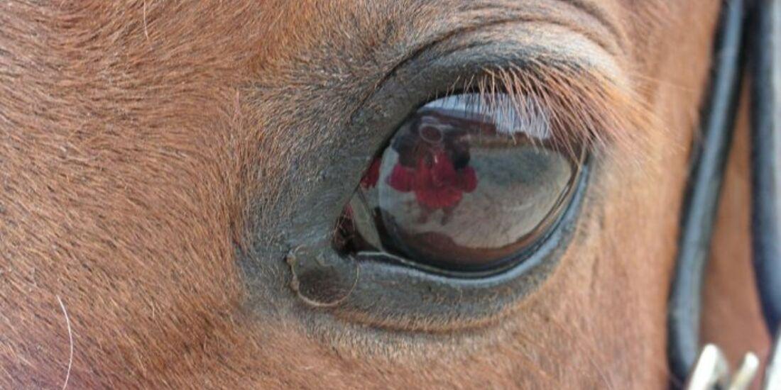 CAV Pferdeaugen Augen Bayernwallach MS _02
