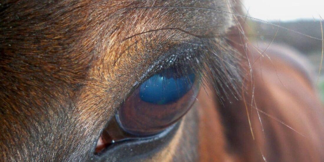 CAV Pferdeaugen Augen MS _10