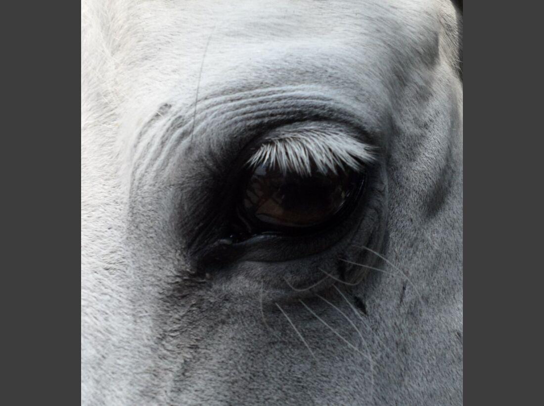 CAV Pferdeaugen Augen Welsh MS _23