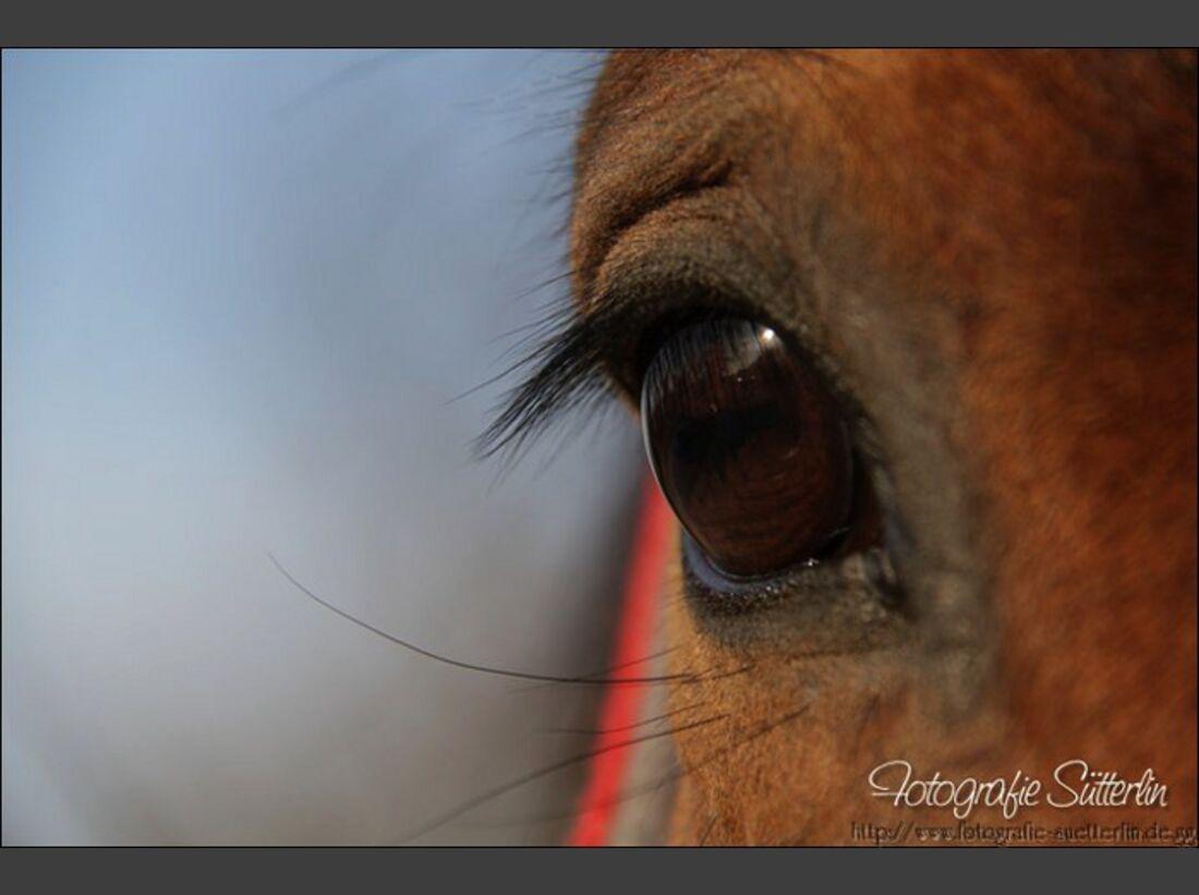 CAV Pferdeaugen Braunschecke Chato MS
