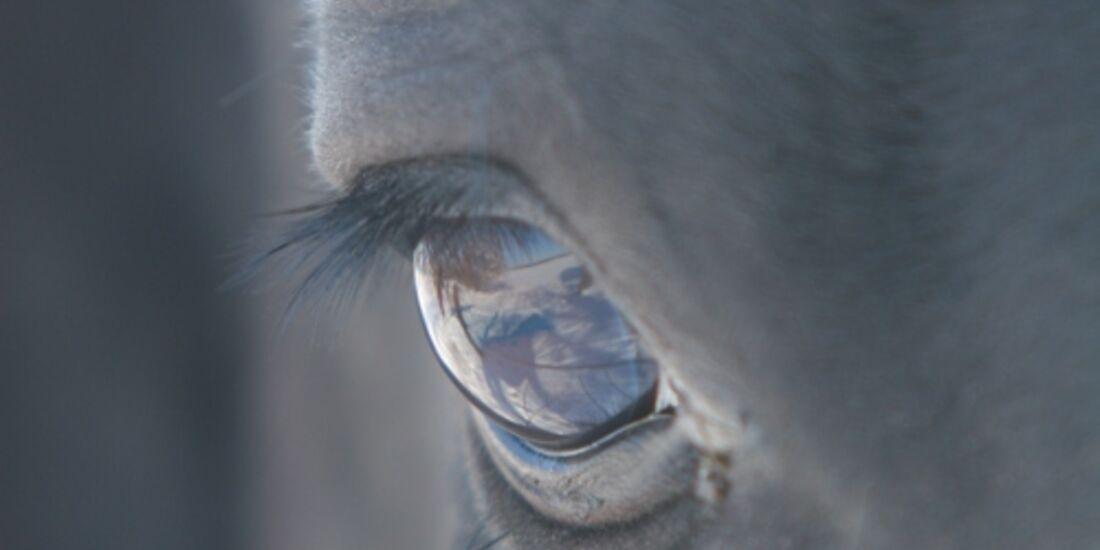 CAV Pferdeaugen Wallach Rocco Paso Peruano MS
