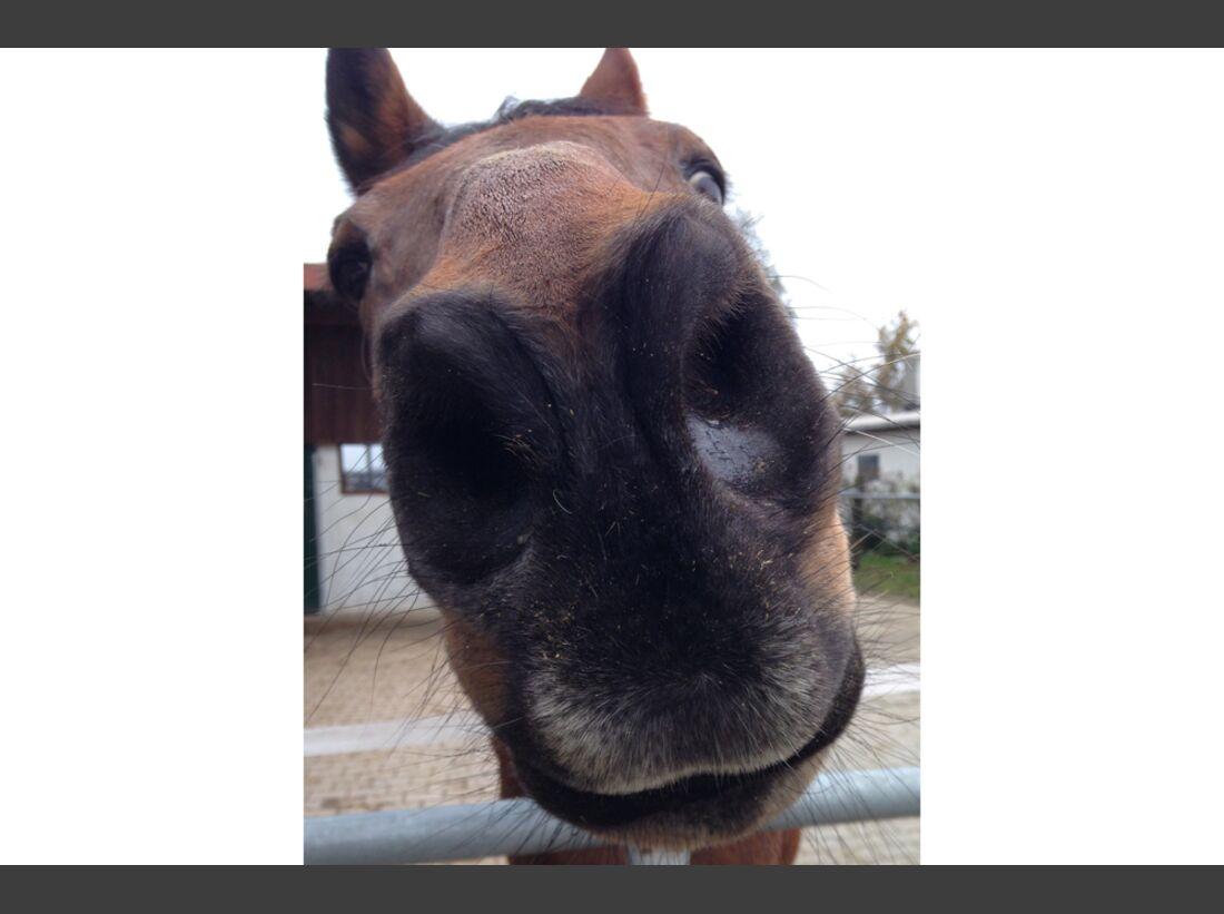 CAV Pferdenasen Betty Sven