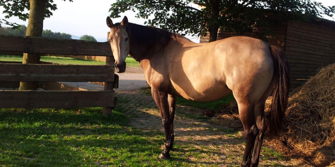 CAV-Pferdeohren-Alisha-Etzkorn