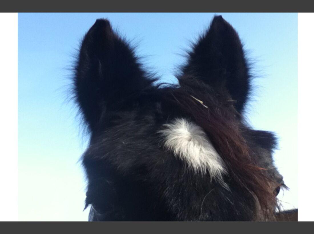 CAV Pferdeohren Leserfotos 34