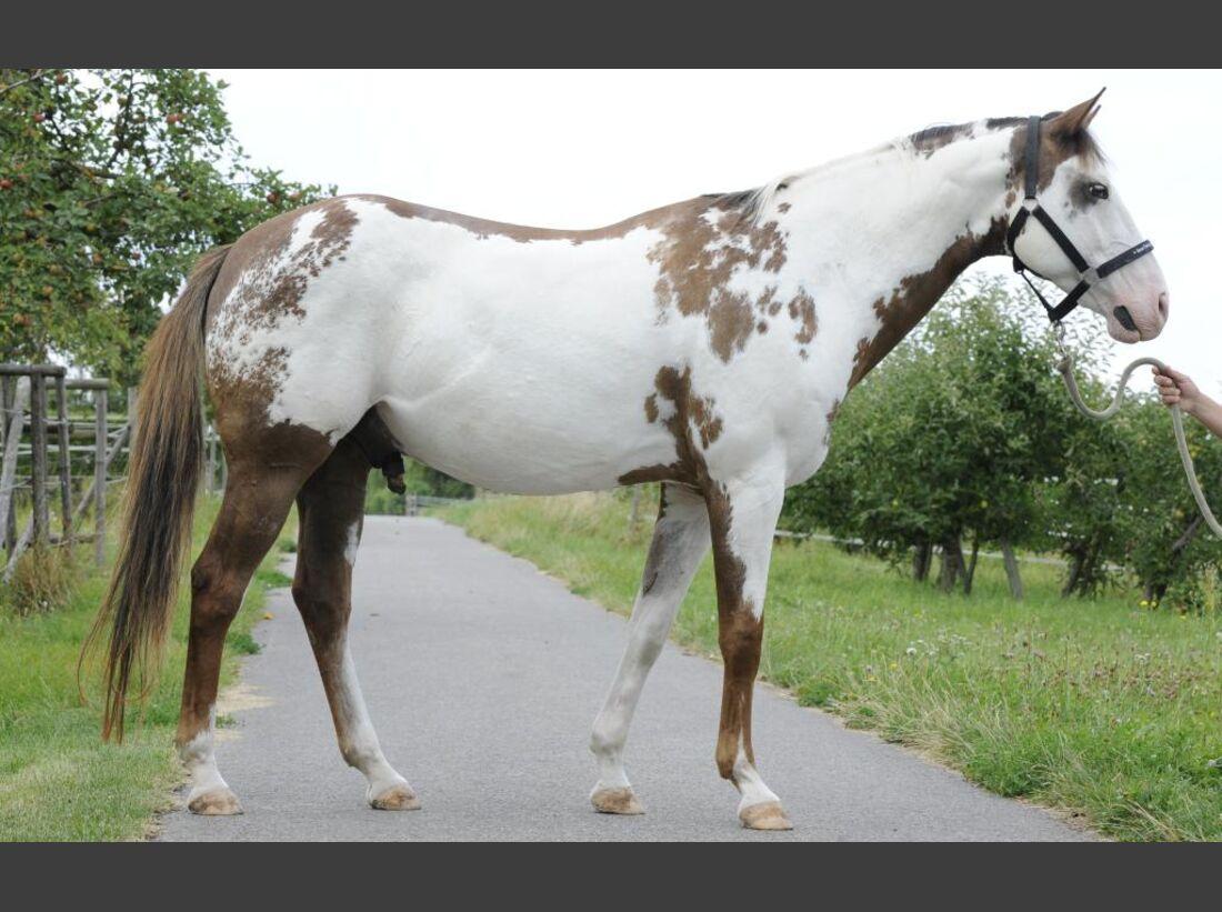 CAV_Sattelmessung_Systeme_18_Paint_Horse