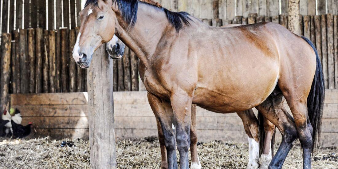 CAV Schlaf Pferde Test Aufmacher für TL