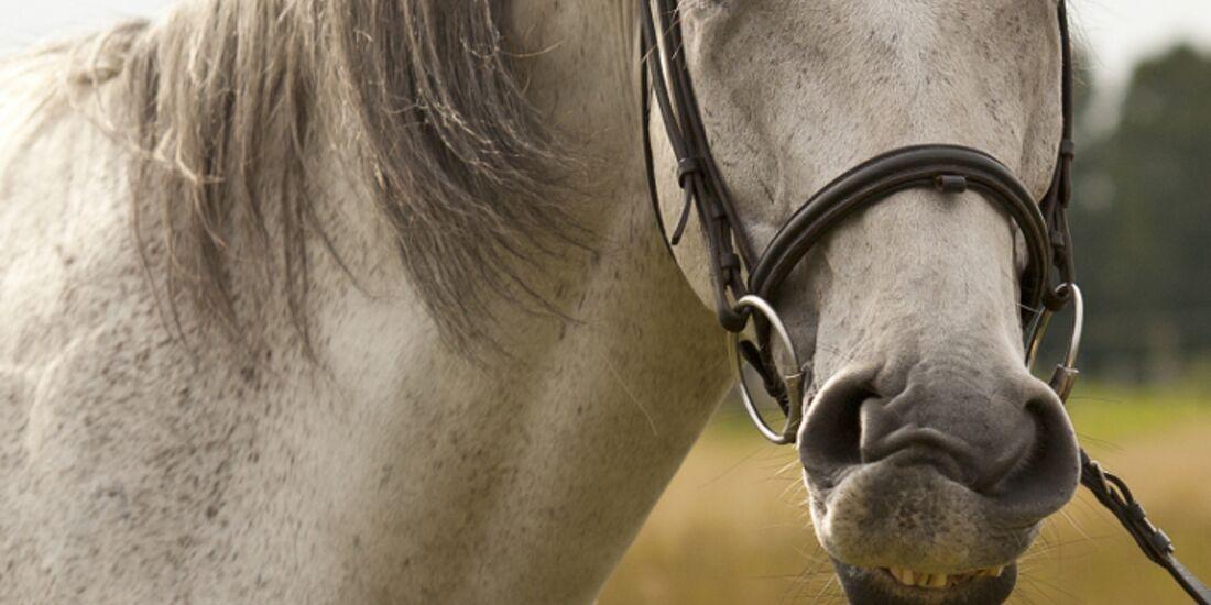 CAV Schräge Pferdefotos MS Schimmel Trense Zähne