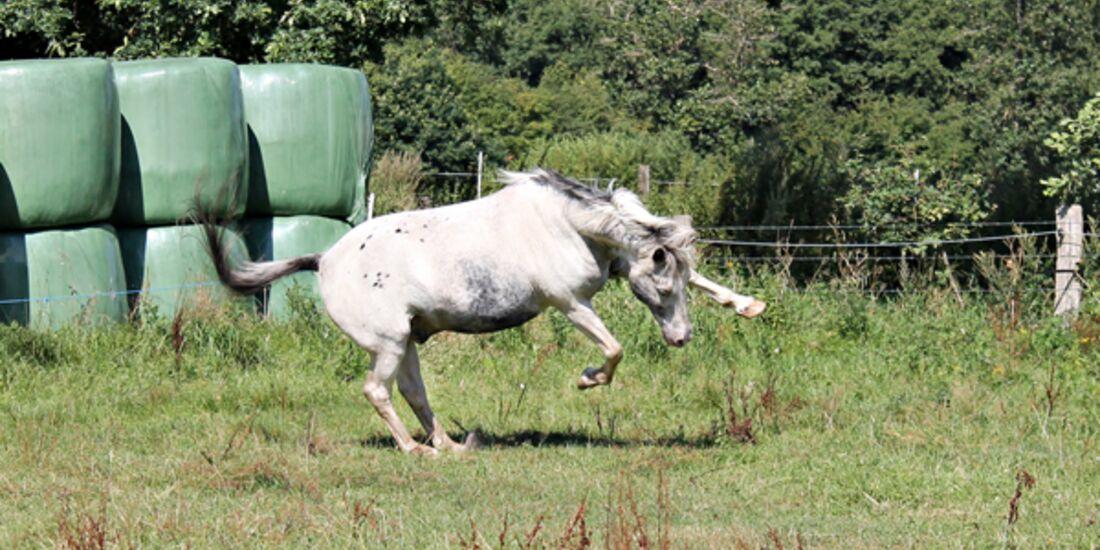 CAV Senioren Rentner Pferdesenioren alte Pferde 1