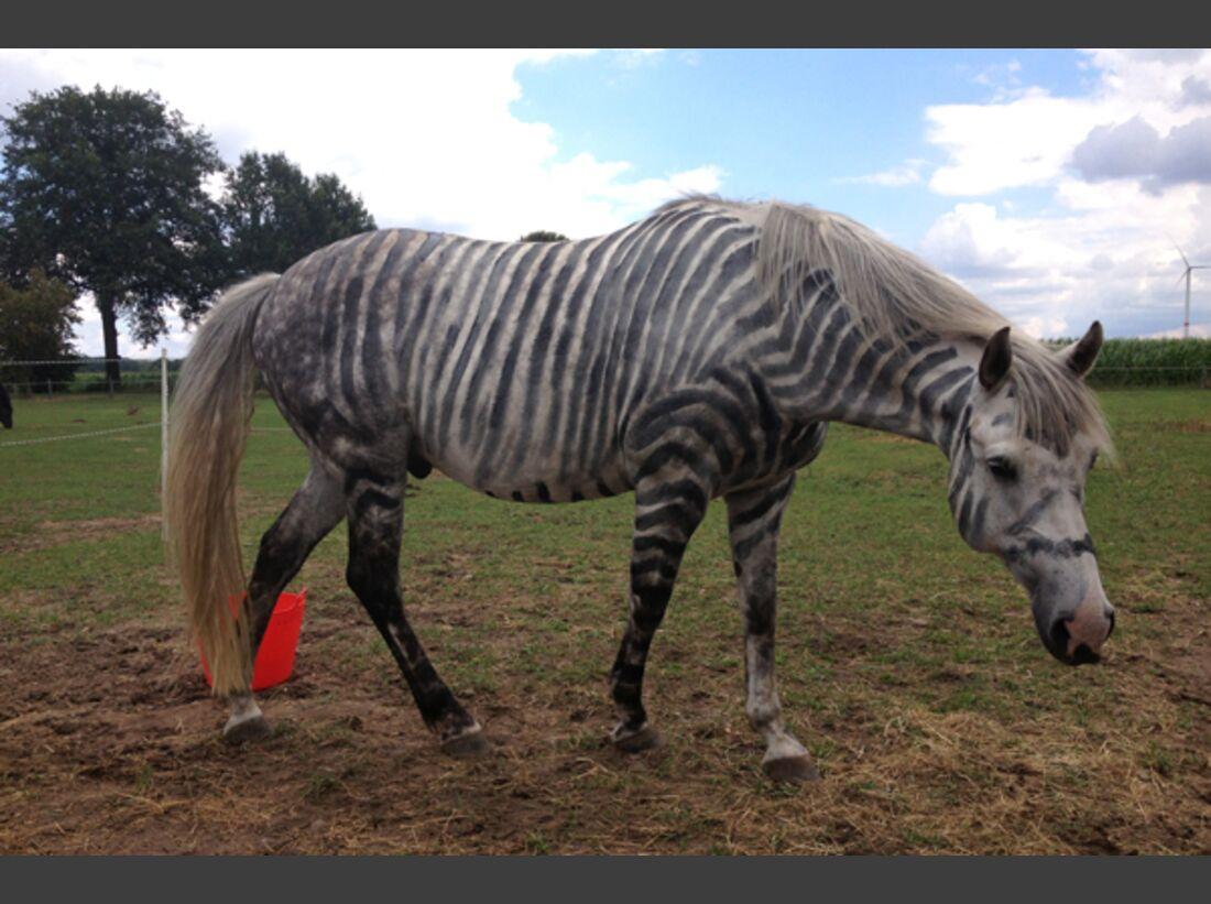 CAV Zebra Leserfotos 3