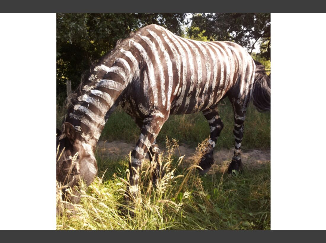 CAV Zebra Leserfotos 7