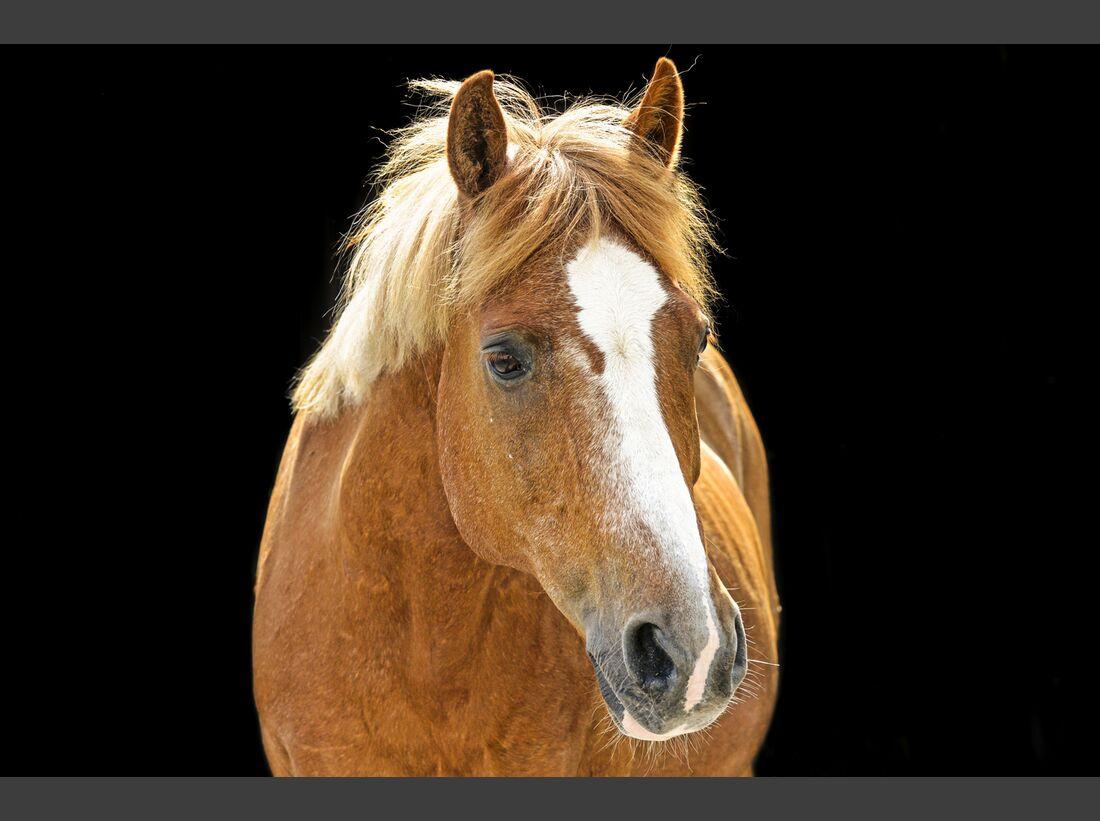 CAV alte Pferde Remmy alt