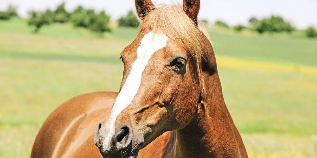 CAV alte Pferde Remmy jung