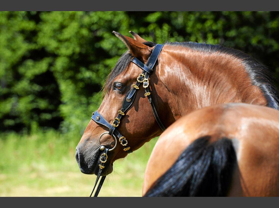 cav-pferde-fotografieren-1-portrait-mit-trense-lir9904 (jpg)