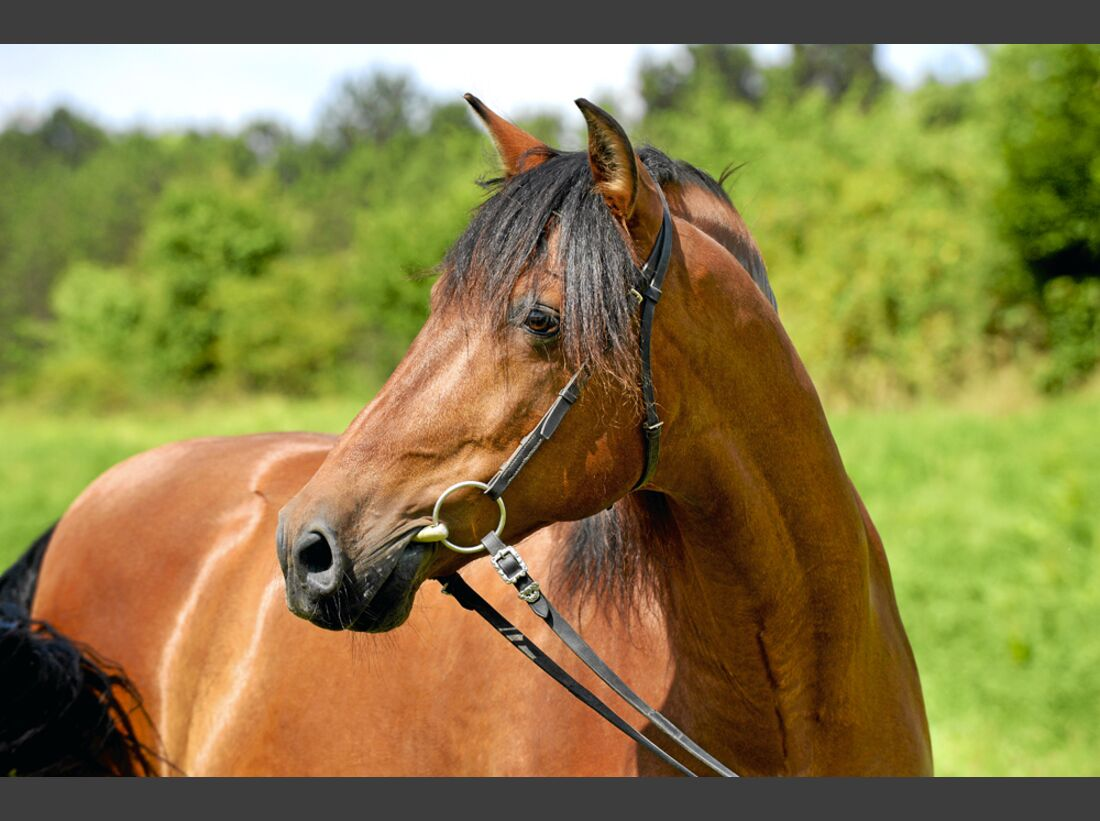 cav-pferde-fotografieren-1-portrait-ohne-reithalfter-lir9884 (jpg)